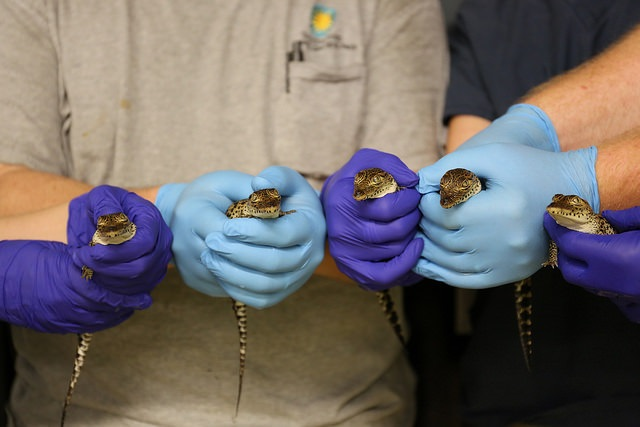 Five critically endangered Cuban crocodiles hatched at the National Zoo's Reptile Discovery Center Photo Amy EnchelmeyerSmithsonian's National Zoo