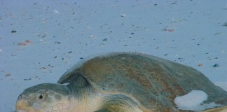 Kemps Ridley sea turtles will benefit from grants made to Florida Credit USFWS