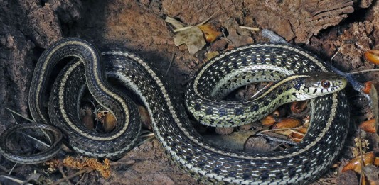 Northern Mexican Garter Snake - USFWS