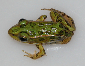 Northern leopard frog with missing limb Steve Mierzykowski USFWS