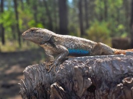 Global climate change is expected to negatively impact lizards more than first thought. Researchers have discovered that embryonic lizards cannot tolerate even short periods of high temperatures. (Pictured: A male Sceloporus tristichus.) Photo by: Agustín Camacho