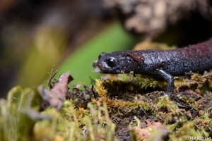 Finca Chiblac salamander (photo by Hussain Aga Khan)