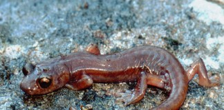 Limestone Salamander, Hydromantes brunus, Washington Department of Fish and Wildlife