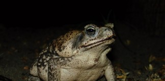 The cane toad (Rhinella marina) in its native habitats in Central America. Photo Silviu Petrovan