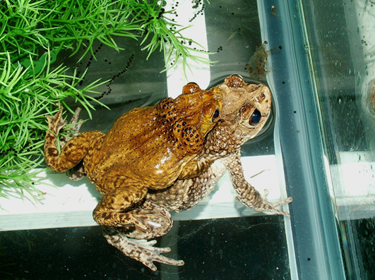 "A male Puerto Rican crested toad mates with a female at the Fort Worth Zoo. Their embrace, known as ""amplexus,"" enables the male to fertilize the female's eggs externally. Photo courtesy of the Fort Worth Zoo."