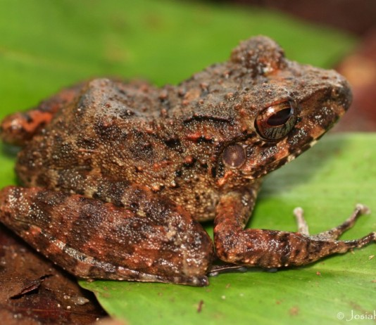 An adult female streamside rainfrog (Craugastor aurilegulus) in Honduras Photo by Joe Townsend