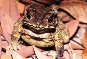 Asian toads (Duttaphrynus melanostictus) invading northwestern Madagascar continue to provide opportunities for Bd introduction. Photo © Jonathan Kolby.