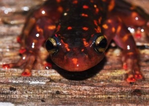 Over 5,000 amphibians from Madagascar have now been screened to monitor for the arrival of Bd. Photo © Jonathan Kolby.