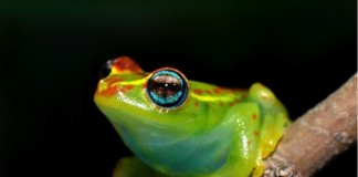 Hundreds of unique amphibian species are found only in Madagascar, such as the A) Central bright-eyed frog (Boophis rappiodes) and B) critically endangered William's bright-eyed frog (Boophis williamsi). Photo @ Jonathan Kolby.