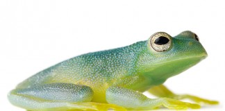 Common Name: Granular Glass Frog, Scientific Name: Cochranella granulosa, Magnification: 1x, Specimen #: 14, Size: 1.25 inches body length,