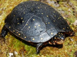 Spotted Turtle Photo by Mike Rubbo, New York Department of Environmental Conservation.