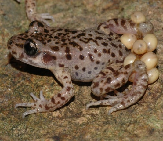 Biologists have succeeded in ridding Mallorcan midwife toad (Alytes muletensis) tadpoles of chytrid fungus infection. Photo by Jaime Bosch MNCN-CSIC.