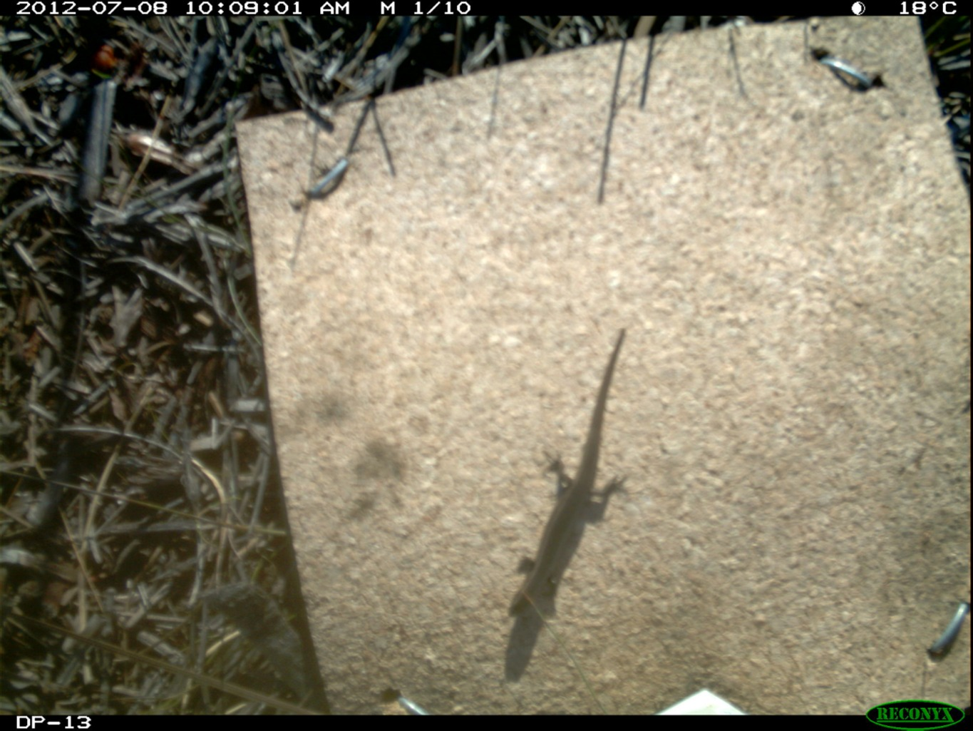 Red throated skink out for a wander in the middle of winter. Dustin Welbourne