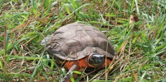 Wood Turtle, Glyptemys insculpta,