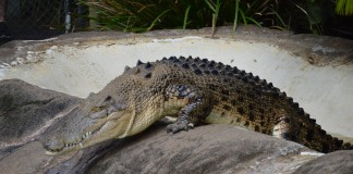 Hot water puts crocs at risk