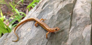 Long tail salamander courtesy of Matt Neff