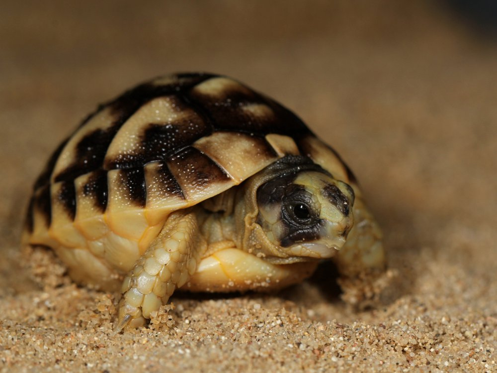 The first baby animal born at Prague Zoo in 2016 belongs to the endangered  Tunisian spur-thighed tortoise species. Photo: Petr Velenský, Prague Zoo