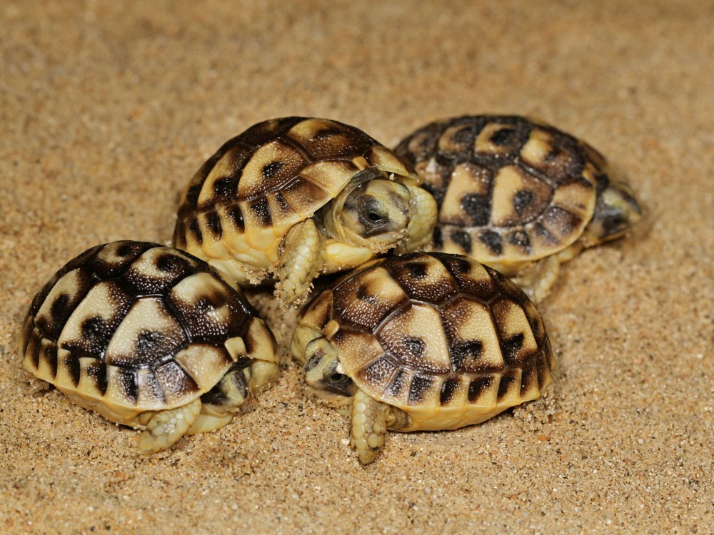 On the first day of 2016, our trio of Tunisian spur-thighed tortoise hatchlings  welcomed a new sibling.  Photo: Petr Velenský, Prague Zoo
