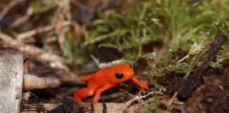 Hundreds of unique amphibian species are found only in Madagascar, such as the Golden Mantella (Mantella aurantiaca). Photo by Rhett A. Butler
