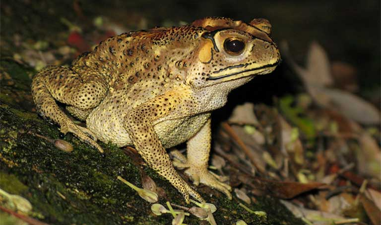 Asian toads (Duttaphrynus melanostictus) invading northwestern Madagascar continue to provide opportunities for Bd introduction. Photo by Lokionly under the terms of the GNU Free Documentation License, Version 1.2