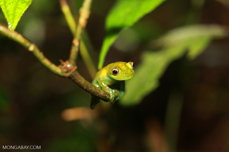 The Green Bright-eyed Frog (Boophis viridis), endemic to Madagascar. Photo by Rhett A. Butler