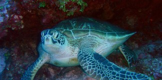 Green Turtle, Chelonia mydas, Saipan, (c) David Burdick// NOAA