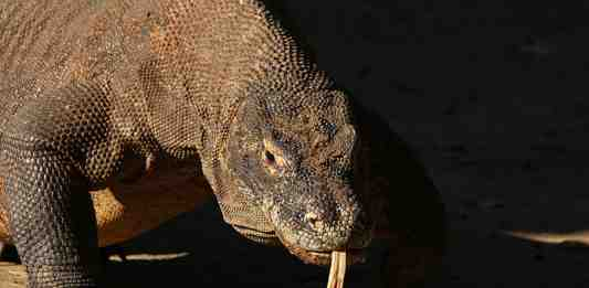 Komodo dragon (Varanus komodoensis), Komodo National Park, Indonesia. This species was found to be the most popular reptile across all language-specific editions of Wikipedia. Photo via Wikimedia Commons.