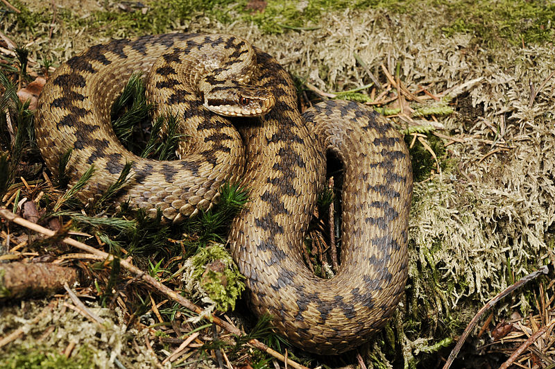 Vipera berus, the common European adder, was found to be the second most accessed reptile across all language-specific editions of Wikipedia. Photo via Wikimedia Commons.