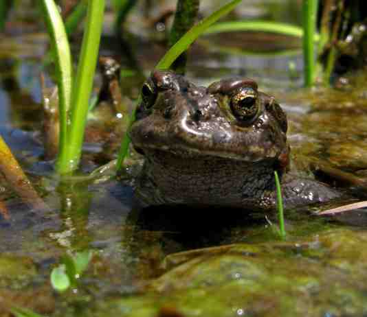 Yosemite toad by Lucas Wilkinson, U.S. Forest Service.