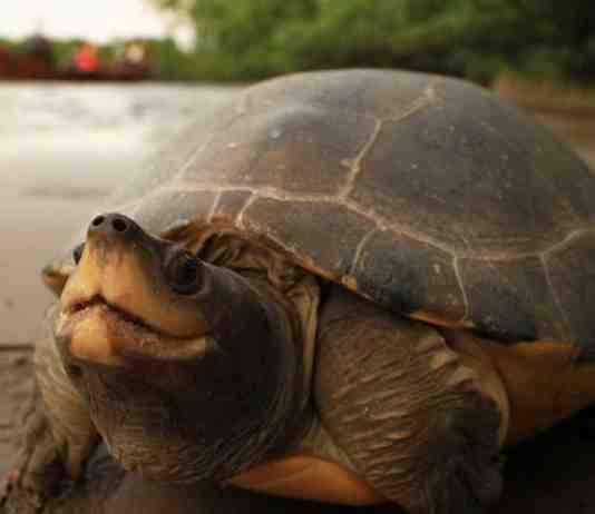 a-female-painted-terrapin-on-river-bank-photo-courtesy-of-the-satucita-foundation