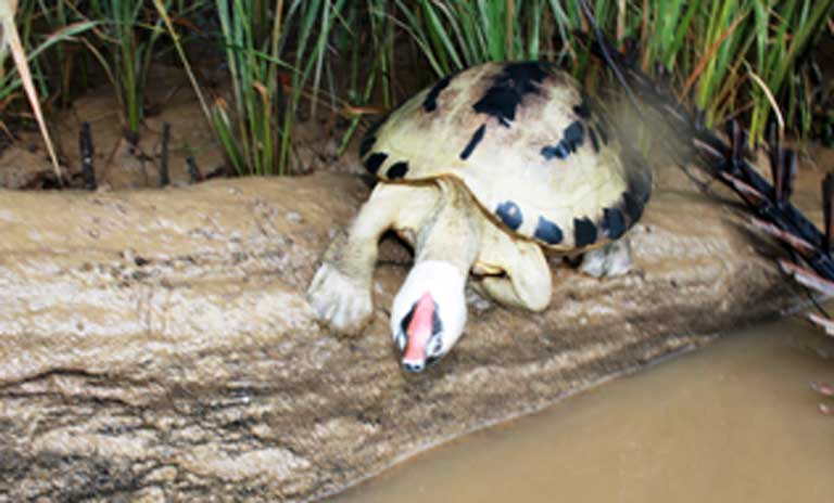 a-painted-terrapin-male-in-its-stunning-breeding-colors-basks-on-river-log-photo-courtesy-of-the-satucita-foundation