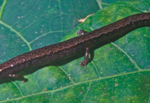 A pine-dwelling minute salamander (Thorius pinicola) – one of the newly described species of minute salamander. Photo by Mario García-París.