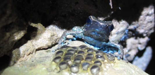 Ameerega shihuemoy adult male looking after his eggs. Photo by Marcus Brent-Smith/Crees Foundation.