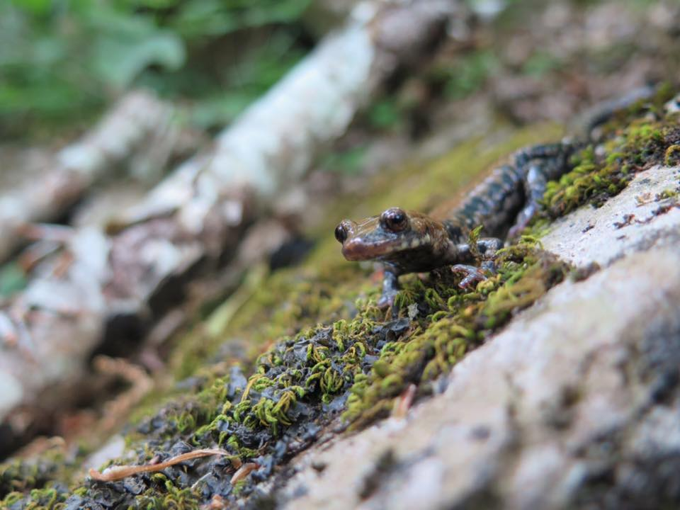 Pigeon Mountain Salamander, Plethodon Petraeus. Image courtesy of Kate Donlon.