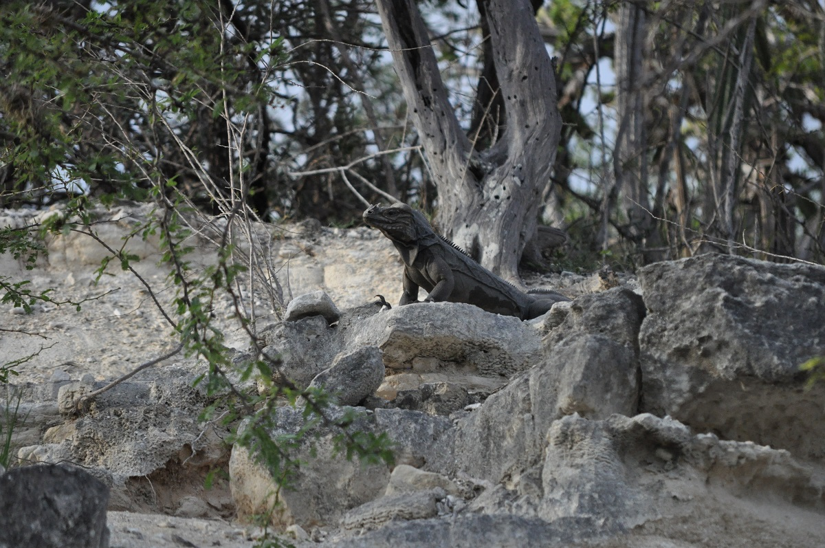 This was an adult Rhinoceros Iguana which they encountered twice over a week of field work at a limestone rock outcrop. Seeing this specific animal while driving the 4x4 through a small canyon washout was simply an awe-inspiring experience.