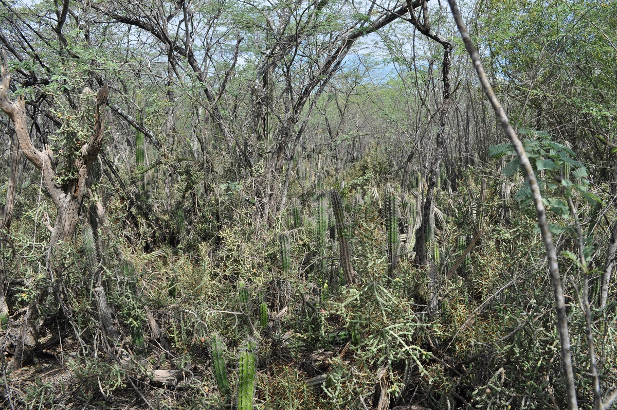 This is just an example of how thick and prickly the Caribbean Dry Forest habitat where we conduct our Cyclura research can be. Everything in this photo has spines, from several species of cactus to the acacia trees. It took us several hours to cover just a few hundred meters in this habitat while collecting our data.