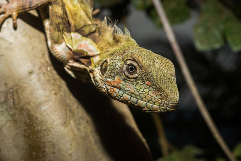 A Papua forest dragon (Hypsilurus papuensis). Photo by Alex Slavenko / Tel Aviv University.