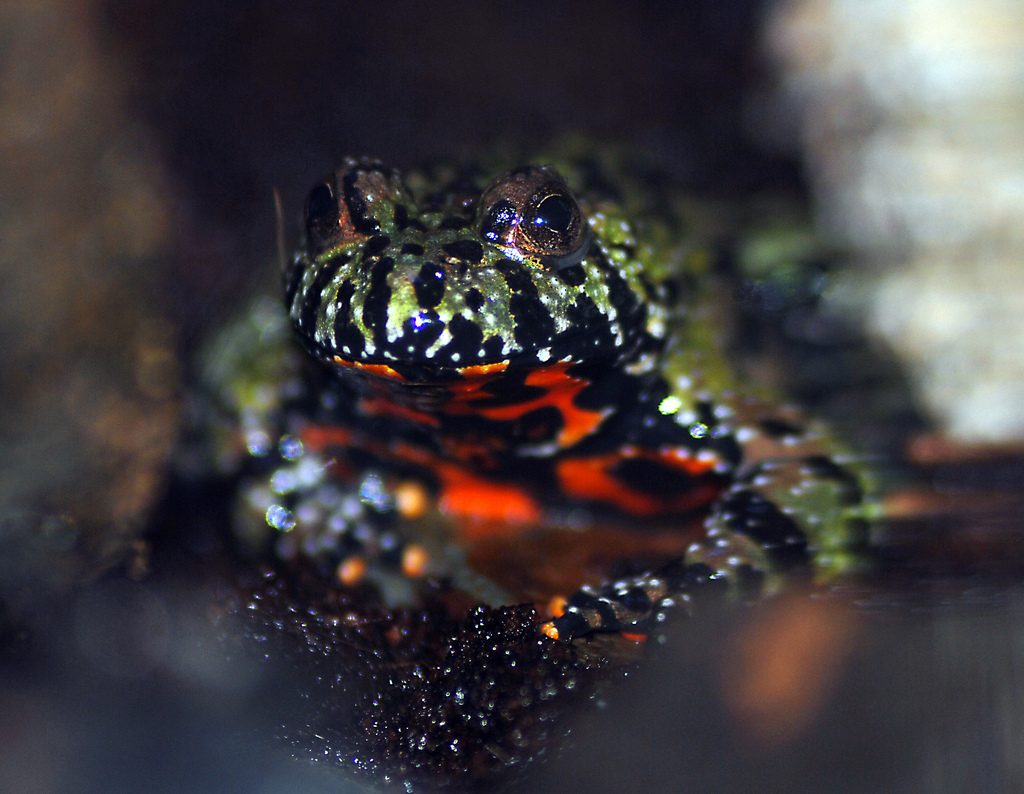 Fire_Bellied_Toad_-_CNP_3431_7138473433